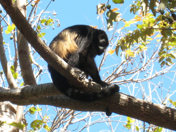 Young male mantled howler monkey (Alouatta palliata)