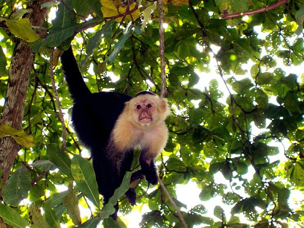 Monkey at Damas Island Estuary